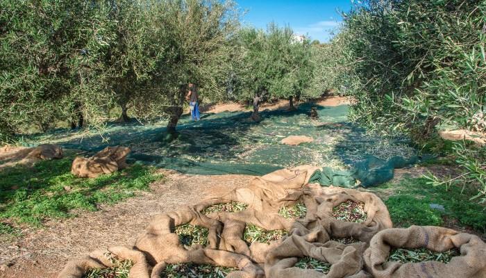 Freshly harvested olives, Crete
