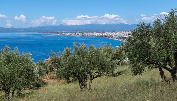 Olive grove overlooking Mount Kalamata, Greece