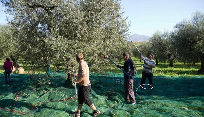 Olive groves, Crete
